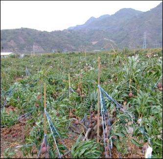 山まで続くマンゴー畑