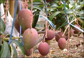 たわわに実る天然マンゴー